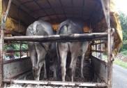 بھٹکل:جانور سپلائی کے الزام میں دو گرفتار