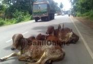 بھٹکل کی سڑکوں پر آوارہ گردی کرنے والے جانور اور نام نہاد گو رکشھکوں کی خاموشی     (وسنت دیواڑیگا کی خصوصی رپورٹ)
