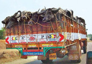 دہلی : بھینس لے جا رہے 3 لوگوں کے ساتھ مار پیٹ ،پولیس نے متاثرین کو گرفتارکیا