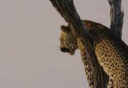 خاتون پر چیتے کے حملے کے خوفناک لمحات;چڑیا گھر کے محافظ نے خاتون کو چیتے کے جبڑوں سے بچالیا