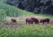 کرناٹکا میں فصلوں کو برباد کرنے والے جنگلی خنزیروں کو ہلاک کرنے کی اجازت