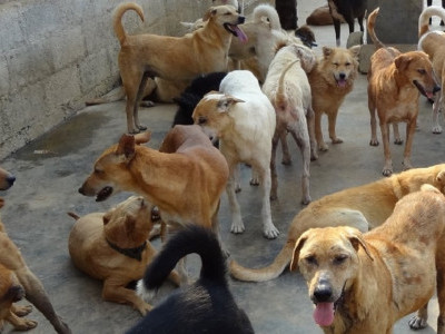 SC agrees to examine plea against stray dog culling in Karnataka