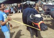مودی سرکار ہٹاسکتی ہے بھینس کی فروخت پر پابندی؛ میگھالیہ میں بی جے پی کے اقتدار میں آنے کی صورت میں بیف کو سستا کرنے کا اعلان