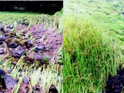 کاروار:تیار کھڑی دھان کی فصل موسلادھار بارش کی نذر: کسان حیران وپریشان