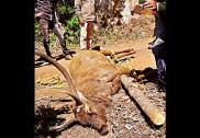 Man held for killing deer in Mundgod