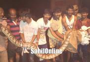 Karwar: Around 11 ft long Python caught by locals