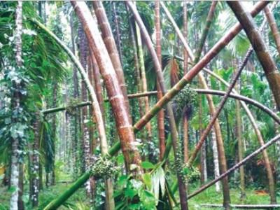 ہوناور میں طوفانی ہوا اور موسلا دھار بارش کے نتیجےمیں سپاری باغ کے کئی درخت زمین بوس: لاکھوں کا نقصان
