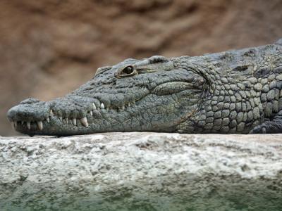 Man attacked by crocodile in Karnataka's Dandeli, survives