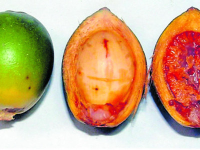 Arecanut growers in dire straits after insect attack