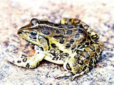 Frogs smuggled to Goan restaurants, foreigners relish jumping chicken