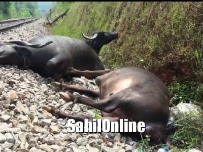 بھٹکل:وینکٹاپور کے قریب چلٹی ٹرین سے ٹکرا کر 7بھینسیں ہلاک