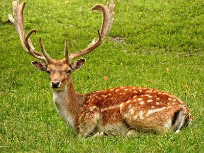 Deer falls prey to hunter in Karwar