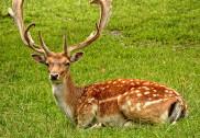 Deer falls prey to hunter in Karwar