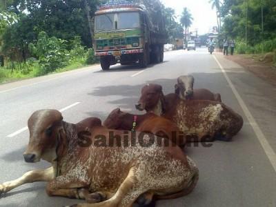 فورلین شاہراہ پر جانوروں کی موجودگی سے حادثات میں اضافہ : کیا مویشی پالن وزیر کی تجویز کارگر ہوگی ؟