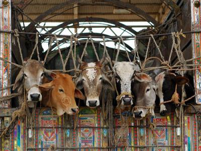 منگلورو میں  تلواروں سے دھمکا کر شرپسند چار گائے چرا لے گئے
