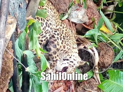 Leopard caught in Kundapur taluk