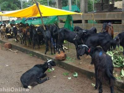 کرناٹک: چرواہے کے کورونا پازیٹو پائے جانے پر 50 بھیڑ بکریوں کو کیا گیا کوارنٹائن