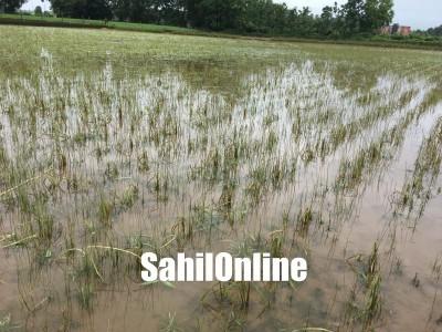 بھٹکل میں بارش  کی وجہ سے 50ایکڑ سے زائد زرعی زمین برباد : دھان کی فصل پانی میں بہہ گئی