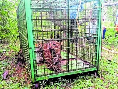 Trapped leopard released into Kollur sanctuary