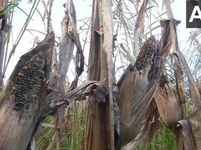Karnataka: Maize crops damaged due to incessant rain in Shivamogga