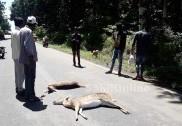 ہلیال بلاک ایجوکیشن آفسر کی کار جنگلی ہرن سے  ٹکراگئی؛ 2 ہرن ہلاک