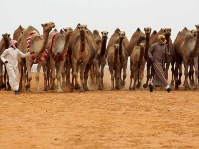سعودی عرب میں پانچواں سالانہ اونٹ میلہ رواں سال دسمبر میں منعقد کرنے کا اعلان