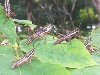 مینگلور:  جنوبی کینرا تک پہنچ گیا'ٹڈی دَل' کا حملہ۔ کورونا کے ساتھ کسانوں کے لئے شروع ہوگئی نئی آفت!