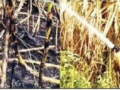 منڈگوڈ : گنے کے کھیت میں شارٹ سرکیوٹ سےلگی آگ:75ہزاروپیوں کا نقصان