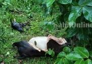 بھٹکل ساگر روڈ کوٹا کھنڈ کراس کے قریب  گھاس چرنے کےلئے چھوڑی گئی گائے کو ذبح کرنے کی واردات؛ ملزم فرار
