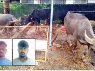شرالی چیک پوسٹ پر جانوروں کی غیر قانونی سپلائی کرنے والی سواری سمیت دو گرفتا ر